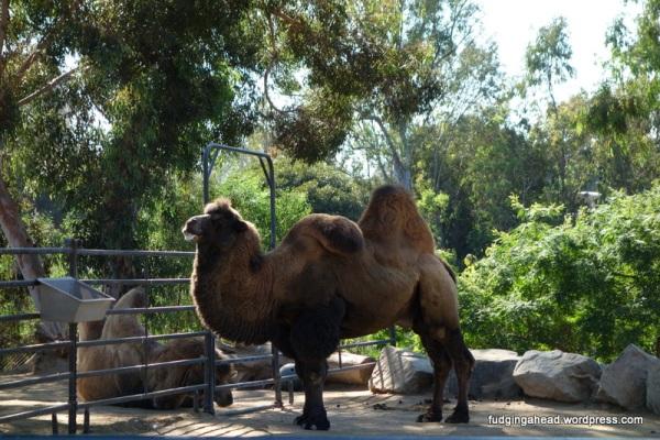Poor camel.