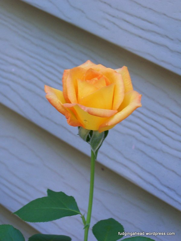 There was a rose bush at my old house, and I never had to do anything. It took care of itself!