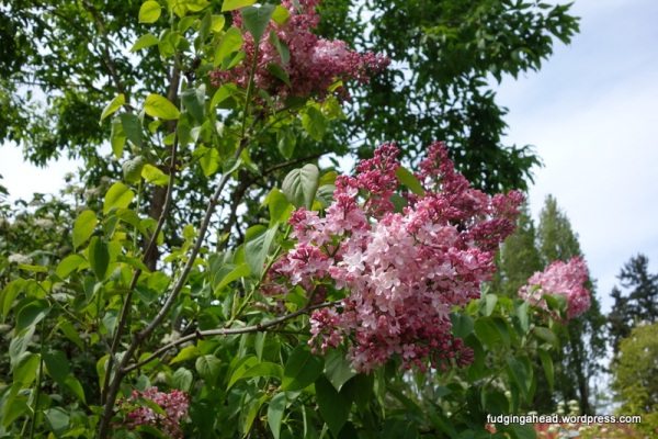 We just discovered this is how lilacs grow from this garden, and then we found them at our house!