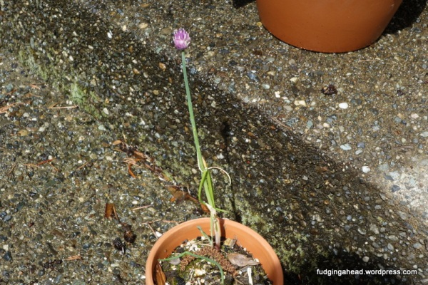 This chive returned from last year...complete with a pretty flower!
